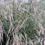 Tall Fescue