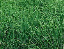 Orchard Grass - Forage Seed Supplier