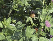 Red Clover - Forage Seed Supplier