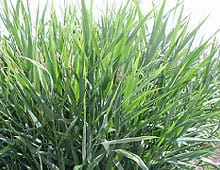 Forage Seed Supplier