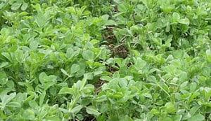 ladak-alfalfa