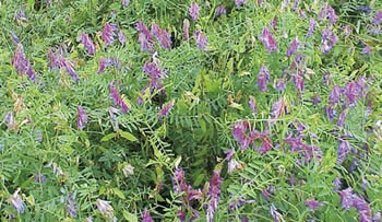 Purple Bounty Hairy Vetch Seeds For Sale